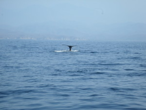 AMAZING THAT WE GOT THE TAIL END OF THIS HUMPBACK WHALE AFTER IT CROSSED OUR BOW THEN DOVE DOWN