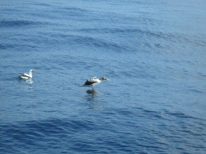 THIS BOOBIE BIRD DECIDED TO TAKE UP RESIDENCE ONBOARD THIS GREENBACK TURTLE RATHER THAN  ENDURE THE HARASSMENT HE RECEIVE'S ABOARD SAILORS RUN