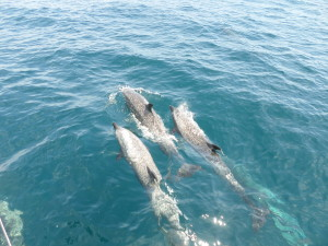 THE DOLPHINS THAT MYSTERIOUSLY COME TO JOIN IN OUR CELEBRATION OF OUR EQUATOR CROSSING